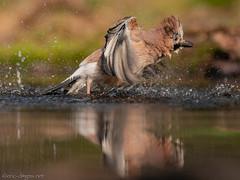 Eichelhäher / Jay (eric-d at gmx.net) Tags: birds jay eichelhäher corvidae vogel rabenvogel eric water