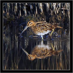 SNIPE (PHOTOGRAPHY STARTS WITH P.H.) Tags: snipe lodmore weymouth dorset nikon d500 500mm afs vr gitzo mk5 wimberley wh200 gimbal 14 teleconverter lodmoor