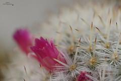 Cactus (Fabi's Photography) Tags: cactus