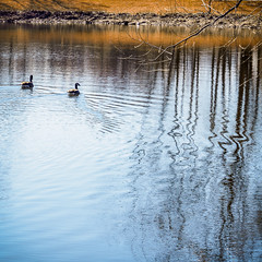 pond scene (wwnorm) Tags: northpondspark webstertrails websterny aquatic birds geese parks picaday2019
