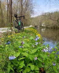 2019 Bike 180: Day 44 - Canal Bluebells (mcfeelion) Tags: cycling cocanal spring wildflower bike bicycle bike180 2019bike180 bethesdamd