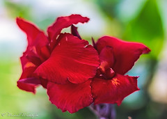 La Flor Roja (Sound Quality) Tags: wwwmichaelwashingtonaecom medellin medellincolombia colombia antioquia travel latinamerica americalatina southamerica flower red flowers roja flor flores itagui cabin urban mountains travelphotography city