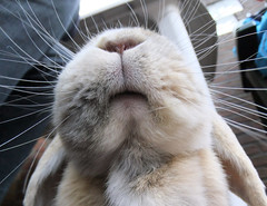 Nosie, mouf and whiskers (eveliensbunnypics) Tags: bunny rabbit lop lopeared polly face closeup chin chinnie nose nostrils mouth mouf lips whiskers