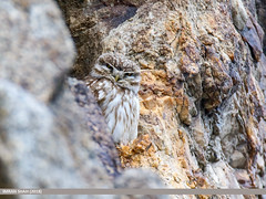 Little Owl (Athene noctua) (gilgit2) Tags: avifauna birds canon canoneos7dmarkii category fauna feathers geotagged gilgitbaltistan gojal imranshah littleowlathenenoctua location pakistan shiskat species tags tamron tamronsp150600mmf563divcusd wildlife wings gilgit2 athenenoctua