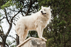 MY Pride Rock! (bp-122) Tags: majestic pooch dog rock pride cavtat croatia europe wolf imperious imperiousness wall fluffy beautiful k9 canine white portrait