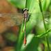 Russet-tipped clubtail, male (Stylurus plagiatus)
