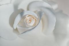 à mon papa (christophe.laigle) Tags: rose christophelaigle fleur macro nature flower fuji parcdelaroseraie nantes blanc xpro2 xf60mm white