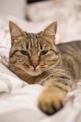 Liebling (Tatjana_Schmid) Tags: cat katze tiger stubentiger mietzi animal haustier pet