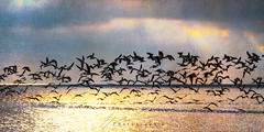 """Fly..."" (Howard Brown Photographic) Tags: bird birds waterfowl waterbird black skimmer cedar key florida sunrise seascape waterscape ocean gulf mexico crepuscular rays"