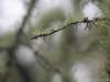 Lichen (David R. Crowe) Tags: drops forest lichen nature plant tree water wetness bainbridgeisland wa usa