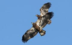 Double Vision (Bill G Moore) Tags: immaturebaldeagle naturephotography birdofprey raptor wild wildlife canon illinois billmoore winter