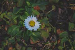 Flower (Péter Vida) Tags: flower natural vegetable virág természet növény