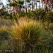 2012-02-20 TEC Savanna-0334 Schizachyrium sanguineum - E.P. Mallory
