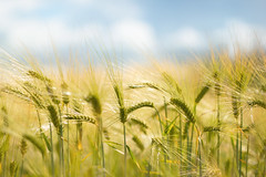 Summer (EdiB.) Tags: summer field sky corn blue yellow