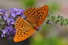 Silver Washed Fritillary Butterfly (Argynnis Paphia) (natureloving) Tags: silverwashedfritillary argynnispaphia butterfly papillon nature macro insect natureloving nikon d90 afsvrmicronikkor105mmf28gifed