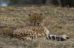Lounging Cheetah ( Acinonyx jubatus), National Zoo (CGDana) Tags: national zoo smithsonian dc district us mammal mega fauna canon 7d mk2