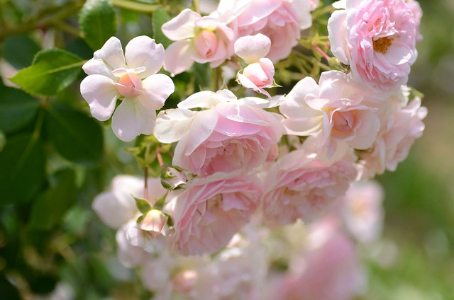 Обои розовый, куст, розы картинки на рабочий стол, раздел цветы - скачать
