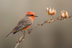 Vermilion Flycatcher male ( Pyrocephalus rubinus )  Tucson / Arizona. (@Thomas Neuber) Tags: arizona usa colorful flycatcher bird vogel birding tucson wildlife natur vermilionflycatcher pyrocephalusrubinus