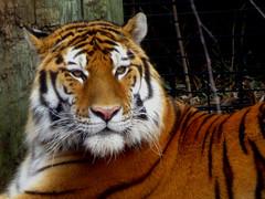 IMG_5071 (kennethkonica) Tags: indianapoliszoo zoo animalplanet animal tiger indianapolis indiana indy canonpowershot canon hoosier random midwest usa america color animaleyes zoos mood