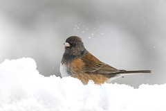 Snow Day (craig goettsch - out shooting) Tags: junco darkeyedjunco bird avian nature wildlife animals nikon d850