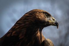 Eagle (altmeyerphotography) Tags: eagle adler bird zoo neunkirchen can canon 700d
