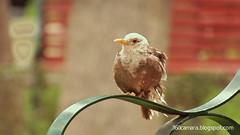 el zorzal de dos colores (harold.cano2017) Tags: bird urban bench park arequipa peru animal feathers peak nature zorzal turdus chiguanco