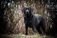 follow me (uwe.kast) Tags: labrador labradorretriever labradorredriver bichou dog hund haustier black panasonic lumix g9 100300