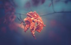 Winter leaf (Dhina A) Tags: sony a7rii ilce7rm2 a7r2 a7r kaleinar mc 100mm f28 kaleinar100mmf28 5n m42 nikonf russian ussr soviet 6blades manualfocus