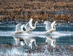 Happy Holidays! (Gary Grossman) Tags: swan landing marsh wetland winter birds ridgefield nature washington wildlife garygrossmanphotography wildlifephotography ridgefieldnationalwildliferefuge pacificnorthwest