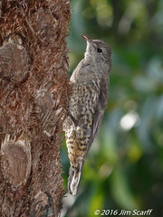 White-throated Treecreeper (Jim Scarff) Tags: australianbirds cormobatesleucophaea passerines treecreepers whitethroatedtreecreeper exif:lens=ef100400mmf4556lisiiusm14xiii camera:model=canoneos7dmarkii camera:make=canon geo:location=chamberswildliferainforestlodge exif:focallength=160mm exif:aperture=ƒ10 exif:model=canoneos7dmarkii exif:isospeed=1600 exif:make=canon
