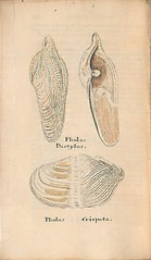 n247_w1150 (BioDivLibrary) Tags: greatbritain mollusks museumsvictoria bhl:page=57640456 dc:identifier=httpsbiodiversitylibraryorgpage57640456 conchologicaldictionary conchology shells britishisles britishislands williamturton british