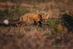 Red Fox (ArmanWerthPhotography) Tags: armanwerthphotography redfox wildlife young kit washington washingtonstate sanjuanisland