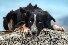 Looking (Flemming Andersen) Tags: frisbee dog bordercollie outdoor nature hund pet animal bedsted northdenmarkregion denmark dk