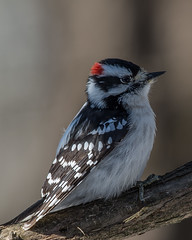 Downy portrait (Fred Roe) Tags: nikond7100 nikonafsnikkor200500mm156eed nature naturephotography national wildlife wildlifephotography animals birds birding birdwatching birdwatcher woodpecker downywoodpecker dryobatespubescens colors outside flickr peacevalleypark