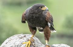 Beady eyed (David Feuerhelm) Tags: nikkor hawk beak eyes feathers closeup bokeh nikon d750 70300mmf4556