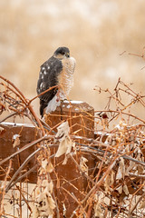 Searching for Food (alastairpoll) Tags: coopershawk hawk fence fencepost snow