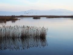 Volant pels aiguamolls (Montse Arnau) Tags: wetlands water birds reflections mirrors aiguamolls aigua aus reflexes mirall marismas reflejos agua