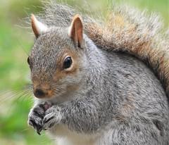 Grey Squirrel with Thornley Woods Seeds (Gilli8888) Tags: nikon p900 coolpix thornleywood thornleyhide tyneandwear nature greysquirrel squirrel mammal rodent seeds