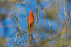 Welcome to the Neighborhood (rickcameron) Tags: northerncardinal cardinal bird perching tree backyard scottsdale arizona
