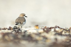 EH7A2565 (stephanegachet) Tags: france bretagne bzh breizh morbihan ploemeur sea seabird bird oiseau gravelot animal nature wildlife stephanegachet gachet