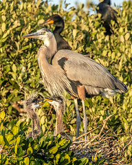 Great Blue Heron with 2 Chicks (dbadair) Tags: outdoor sky nature wildlife 7dm2 ef100400mm canon florida bird nest