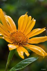 Tithonia diversifolia (frankkevedo) Tags: flor canarias lanzarote