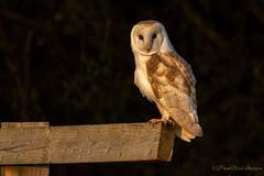 Evening Experience (budgiepaulbird) Tags: barnowls owls birdsofprey canon7dmark2 100400mark2 birds eveninglight perched