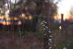 The white flowers wanted to get the vibrant colors of Sunset// Las blancas flores querían tomar los vibrantes colores del atardecer (Mireia B. L.) Tags: flowers sunset helios58mm helios442 bokeh vintagebokeh fence fenced sunsetcolours atardecer flores valla coloresdelatardecer