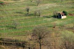 Come la Fenice (angelamandelli397) Tags: terra viti panorama rinascita