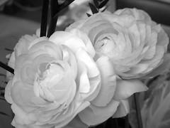 harada-flowers-82 (annie harada) Tags: flowers hana blumen fleurs bouquet noir et blanc black white