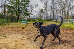Keep Your Eyes on the Prize, 2019.03.14 (Aaron Glenn Campbell) Tags: blacklab puppy foreverhome missrose doggo pupper portrait barkpark apartmentcomplex knoxcounty knoxville tennessee depthoffield shallow bokeh nikcollection viveza macphun skylum luminar sony a6000 ilce6000 mirrorless sigma primelens emount 19mmf28exdn apsc