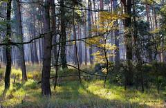 Young Tree (JH Photos!) Tags: jhphotos canon600d canon nature natuur natur bomen trees bäume boom tree forest bos wald germany deutschland duitsland nordrheinwestfalen northrhinewestphalia light licht autumn herfgst herbst photograpy beautiful