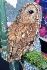 Cuddles (billnbenj) Tags: barrow cumbria owl tawnyowl raptor birdofprey