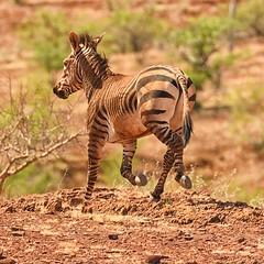 Hartmann's Mountain Zebra (cb dg photo) Tags: africa nambia wildlifephotography wildlife hartmannsmountainzebra mountainzebra zebra